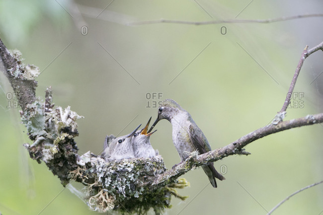 USA. Washington State. Adult female Anna's Hummingbird (Calypte Anna) at cup nest feeding chick while second chick begs