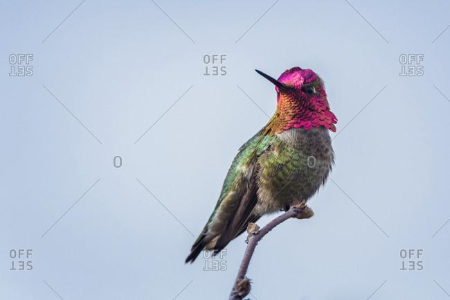 USA. Washington State. Adult male Anna's Hummingbird (Calypte Anna) flashes his iridescent gorget