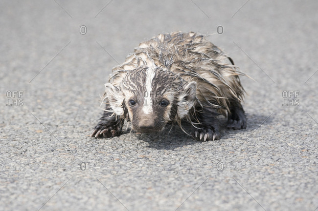USA. Washington State. American Badger (Taxidea taxus) youngster on a rural road in Eastern Washington