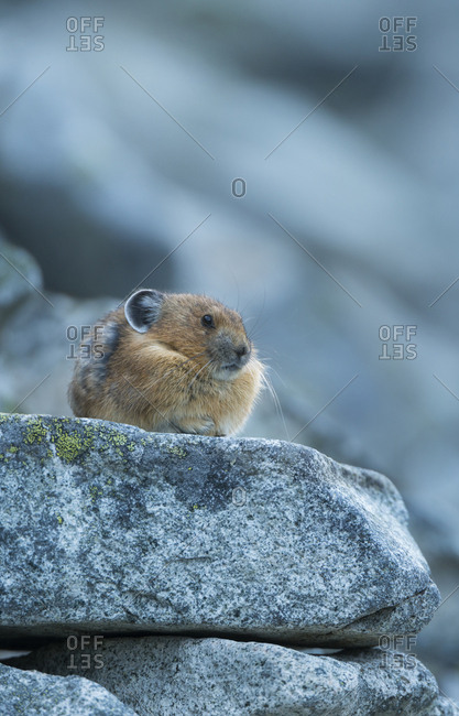 USA. Washington State. American Pica (Ochotona princeps) rests on alert at a rocky look-out
