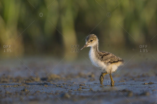 USA. Washington State. Black-necked Stilt (Himantopus Mexicanus) chick forages along a lakeshore in Eastern Washington