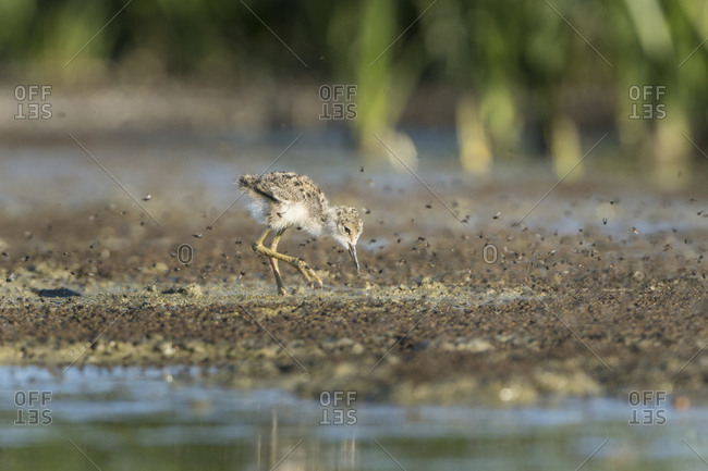 USA. Washington State. Black-necked Stilt (Himantopus Mexicanus) chick forages in bug swarm along a lakeshore in Eastern Washington