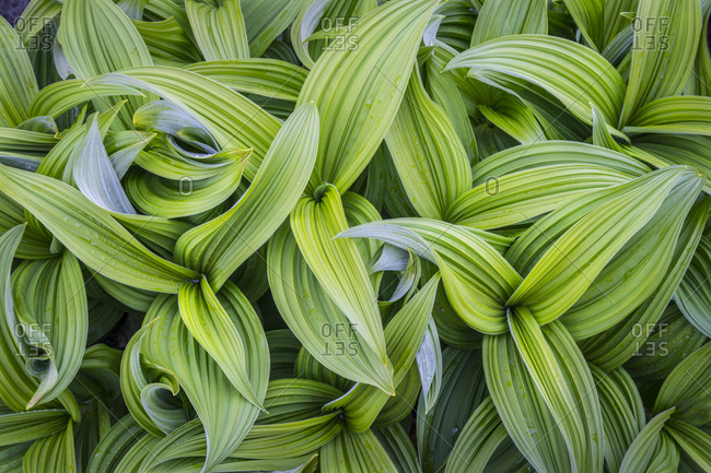 USA. Washington State. False Hellebore (Veratrum viride) leaves form a swirling pattern in the Cascade Mountains of the Pacific Northwest