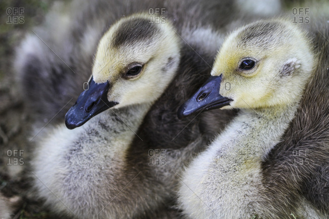 Vienna, Virginia. Pair of young, baby gosling geese cuddle