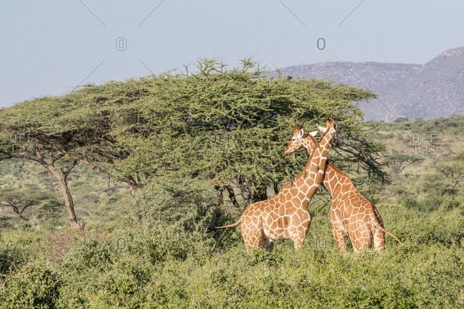 Africa, Kenya, Samburu National Park, Reticulated Giraffes (giraffa Camelopardalis Reticulata). At sunset