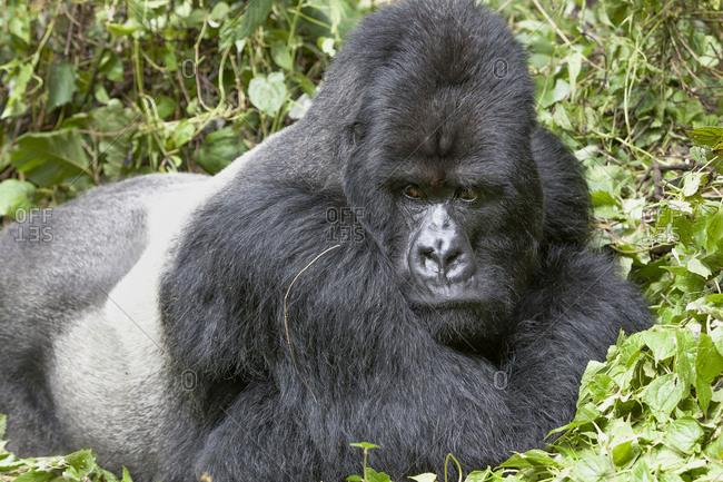 Africa, Rwanda, Volcanoes National Park. Portrait of a resting silverback mountain gorilla