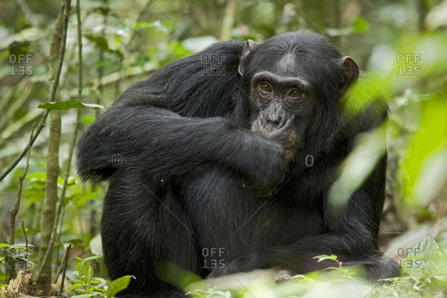 Africa, Uganda, Kibale National Park, Ngogo Chimpanzee Project. A male chimpanzee brings his hand to his mouth as he stares with curiosity