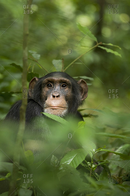 Africa, Uganda, Kibale National Park, Ngogo Chimpanzee Project. Young adult male chimpanzee, 'Wes'