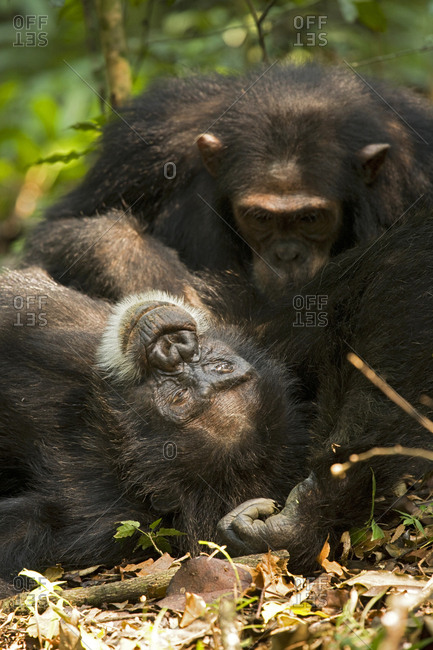 Africa, Uganda, Kibale National Park, Ngogo Chimpanzee Project. An adult male chimpanzee relaxes as he is groomed