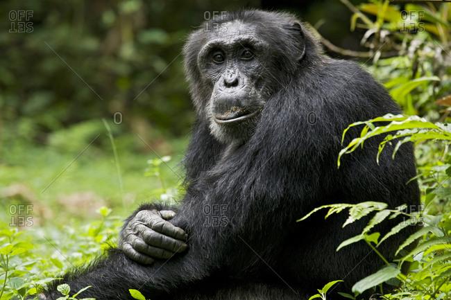 Africa, Uganda, Kibale National Park, Ngogo Chimpanzee Project. A wild, male chimpanzee, 'Monk'