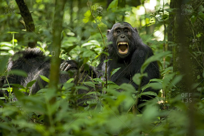 Africa, Uganda, Kibale National Park, Ngogo Chimpanzee Project. A juvenile chimpanzee pauses from grooming an older male to look up and yawn