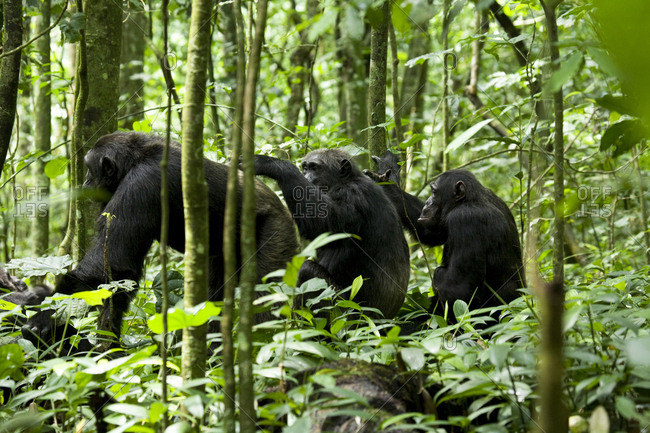 Africa, Uganda, Kibale National Park, Ngogo Chimpanzee Project. Male chimpanzees groom socially in a straight line with other males resting nearby