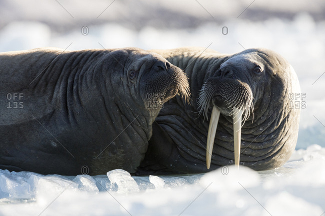 Norway, Svalbard, Spitsbergen. Walruses lie on ice