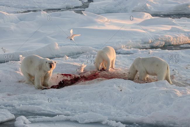 Norway, Svalbard, Spitsbergen. Polar bears feed on seal at sunrise