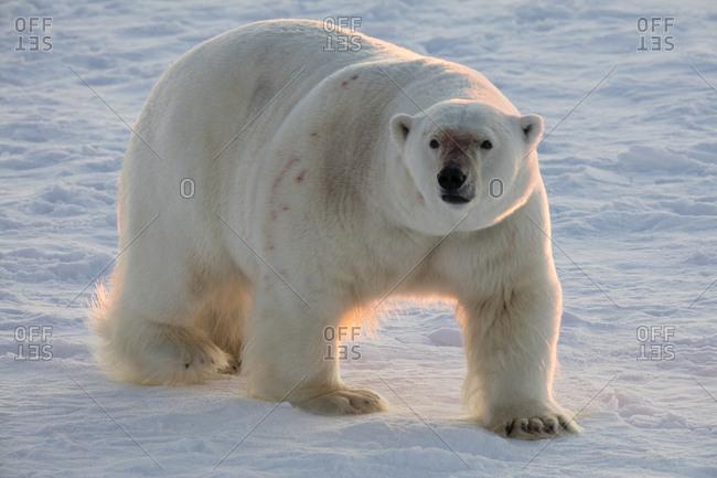 Norway, Svalbard, Spitsbergen. Polar bear walks on sea ice at sunrise