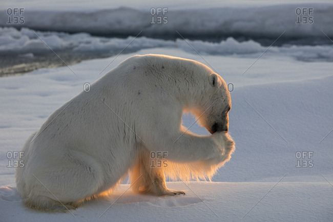 Norway, Svalbard, Spitsbergen. Polar bear cleans paw on sea ice at sunrise