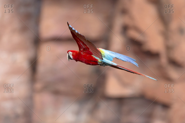 South America, Brazil, Mato Grosso do Sul, Jardim, Red-and-green macaw flying in the sinkhole against the orangey cliffs
