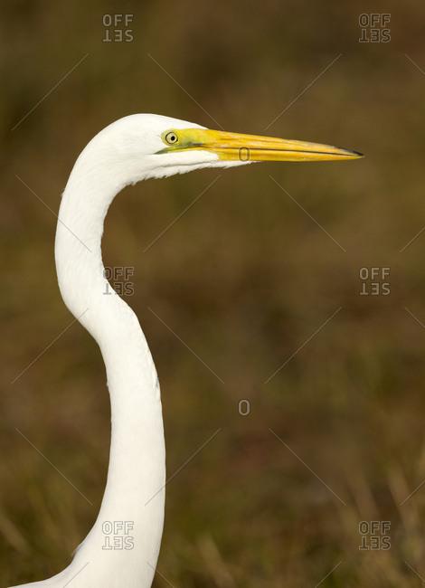 Great Egret, Ardea alba, Merritt Island NWR, Florida, USA