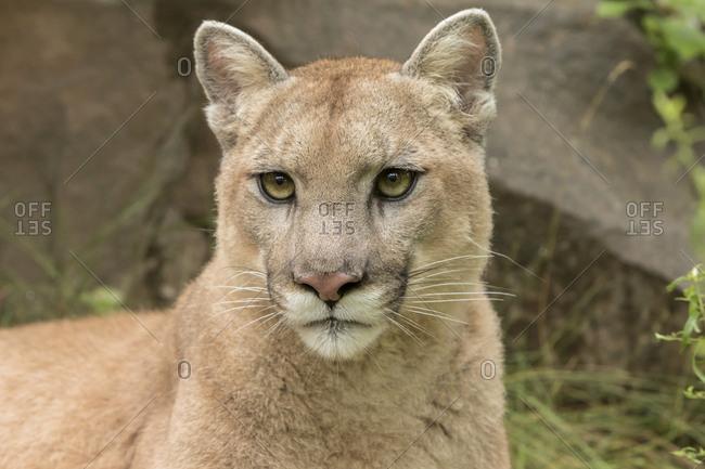 Adult Mountain Lion, Puma concolor, Minnesota