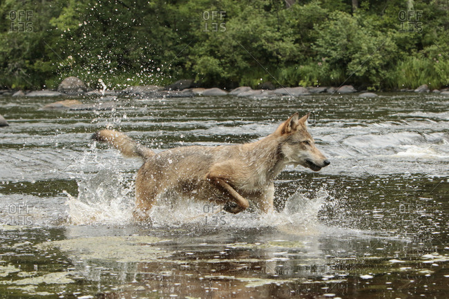 Gray Wolf running through water, Canis lupus (Controlled Situation) Minnesota