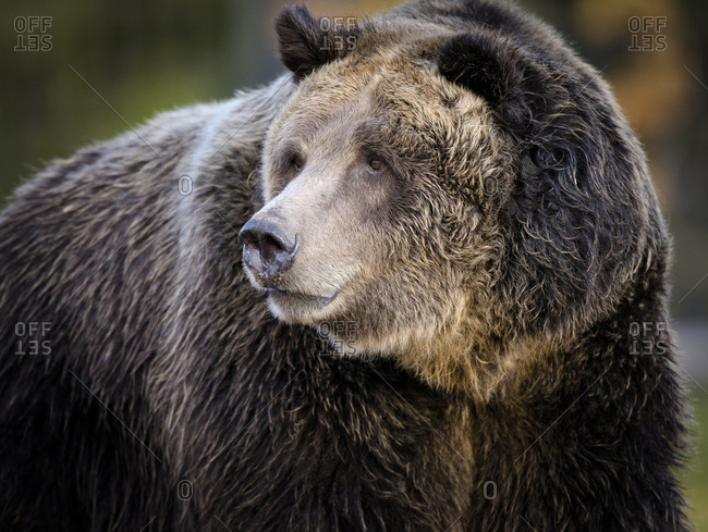 Brown Bear (Grizzly), Ursus arctos, West Yellowstone, Montana, controlled (PR)