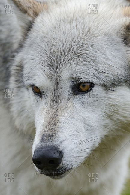 Gray Wolf, Canis lupus, West Yellowstone, Montana, controlled (PR)