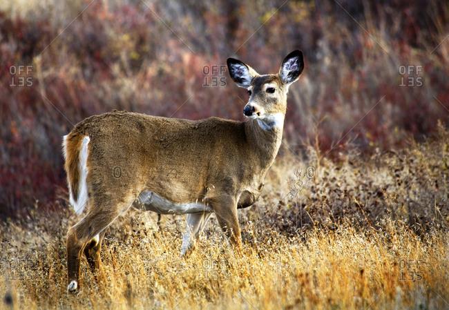 White Tail Deer, National Bison Range, Charlo, Montana
