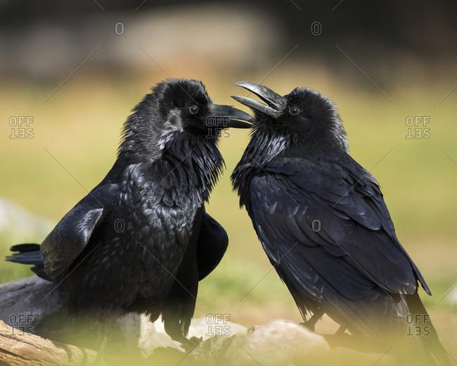 Pair of Common Ravens, Corvus corax, West Yellowstone, Montana, wild