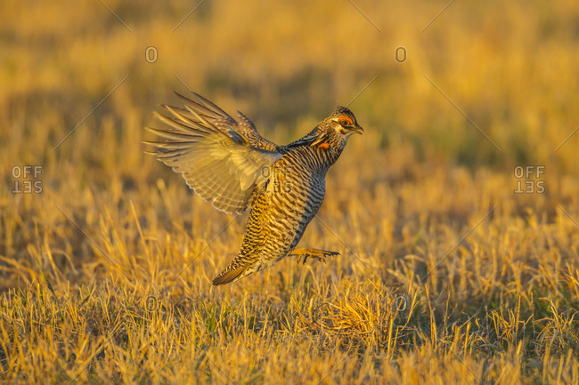 USA, Nebraska, Sand Hills. Greater prairie chicken male taking flight