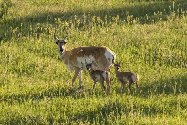 USA, South Dakota, Custer State Park. Pronghorn doe and fawns