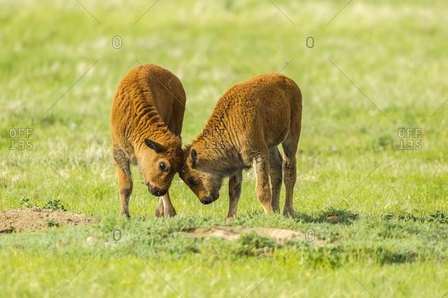 USA, South Dakota, Custer State Park. Bison calves playing