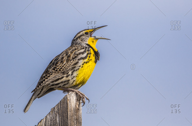 USA, Utah, Antelope Island, Western Meadowlark singing courtship and territory song while sitting on a sign
