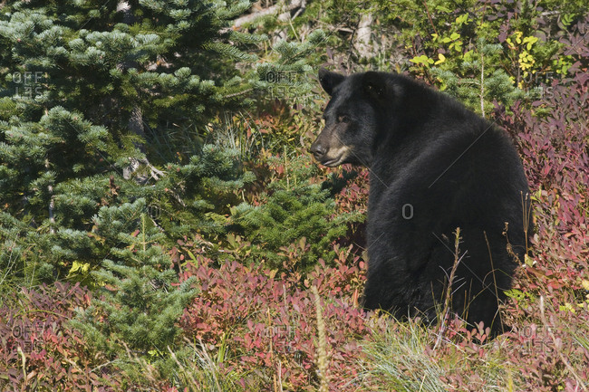 Black Bear, Autumn Huckleberry