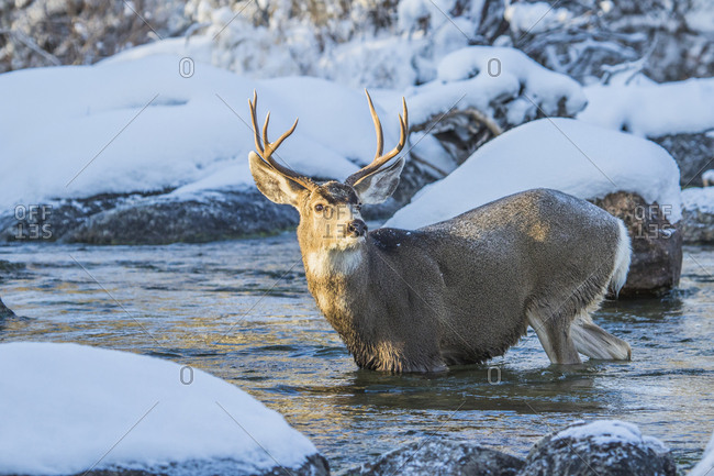 USA, Wyoming, Sublette County, A mule deer buck crosses Pine Creek as it migrates during a snowstorm