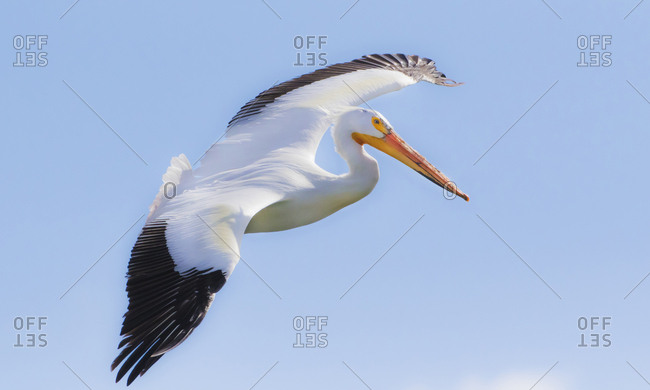 USA, Wyoming, Lincoln County, Kemmerer, American White Pelican flying in for a landing