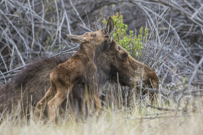 USA, Wyoming, Sublette County, newborn moose calf nuzzles it's mother in a willow patch