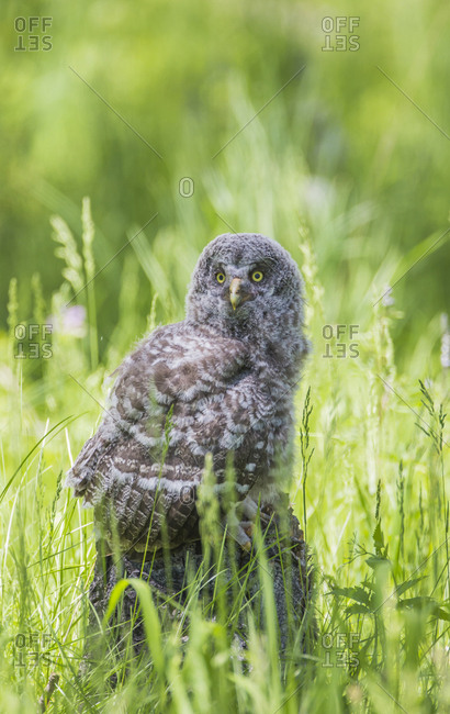 USA, Wyoming, Grand Teton National Park, Great Gray Owl Fledgling sitting on stump in grasses