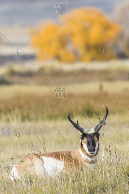USA, Wyoming, Sublette County, buck Pronghorn Antelope lays down in grasses in autumn