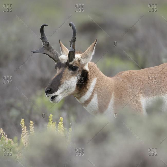 Pronghorn antelope buck feeding on sagebrush, Antilocapra americana, Grand Tetons National Park, Wyoming, wild