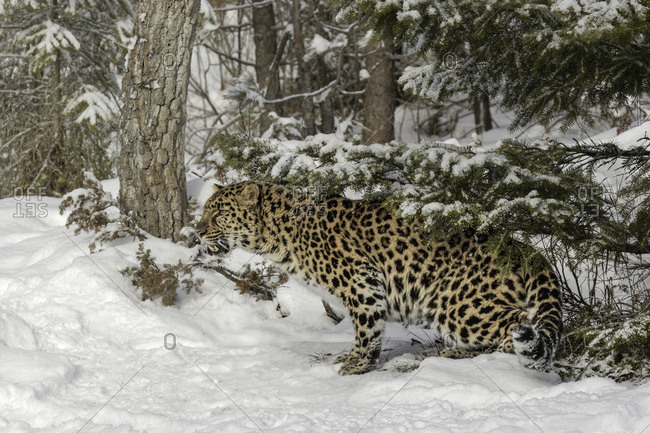 Amur Leopard (Captive) in winter, Panthera pardus orientalis. Leopard subspecies native to the Primorye region of southeastern Russia and the Jilin Province of northeast China. Critically Endangered Species since 1996