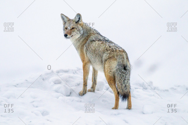 USA, Wyoming, Yellowstone National Park. Coyote on alert in snow