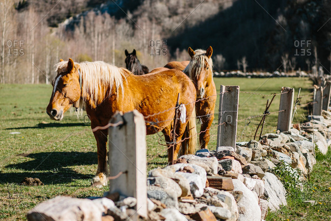 Chestnut horses standing and pasturing on a green field. Horizontal outdoors shot.
