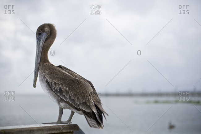 A pelican perched on a pier