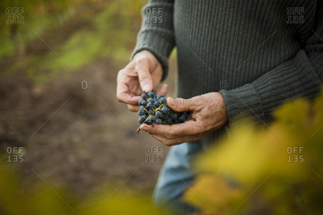 A winemaker holding a bunch of grapes