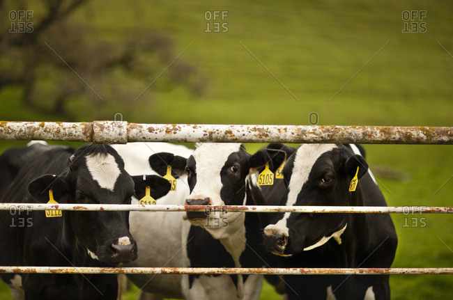 Three cows looking through the gate