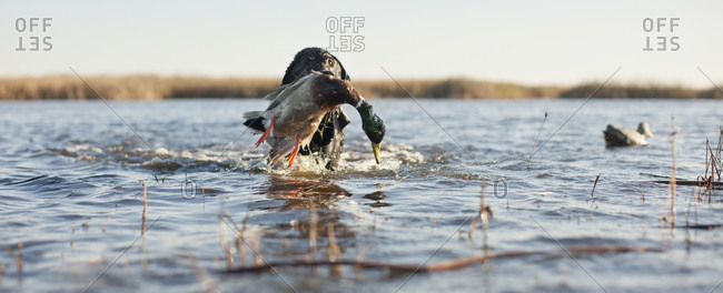 A hunting dog retrieving a dead duck