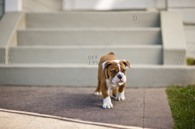 A bulldog puppy in the yard