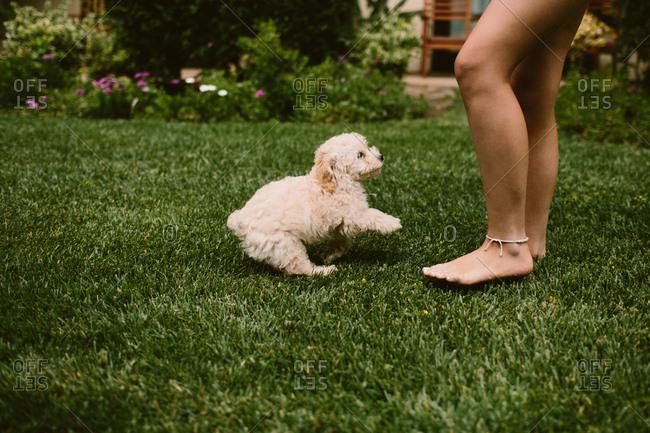 Playful golden doodle puppy