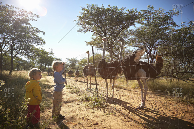 Boys looking at herd of ostriches, Harnas Wildlife Foundation, Namibia