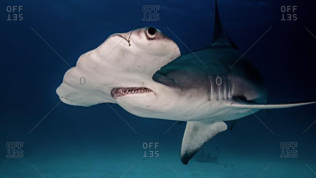 Hammerhead Shark, underwater view, Bimini, Bahamas